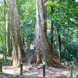 cho tree
