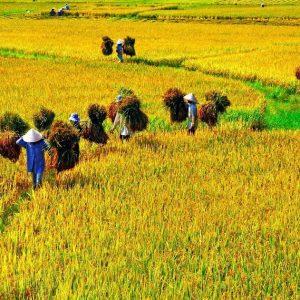 farmer are harvesting