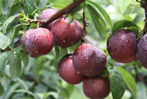 bac ha plums