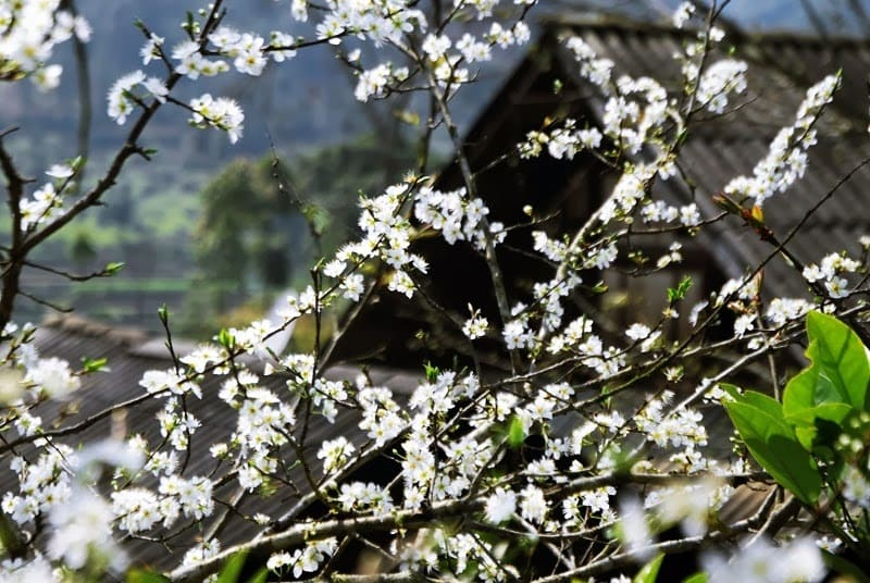 spring flower in sapa